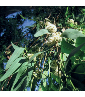 AE Eucalipto Citriodora
