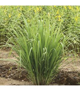 AE Lemongrass